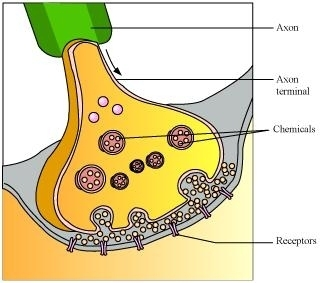 Ncert solutions for class 10 science chapter 7 control and a synapse or neuromuscular junction ccuart Image collections
