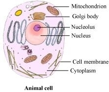 Ncert solutions for class 8 science chapter 8 cell structure and animal cell plant cell ccuart Gallery